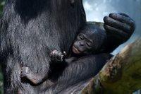 Bonobo juv 1.jpg