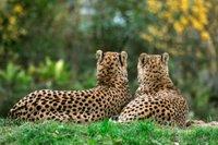 Gepard 14.jpg