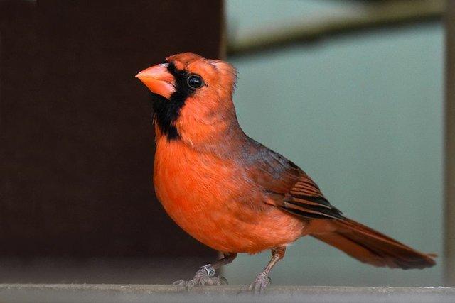 Roter Kardinal 3.jpg
